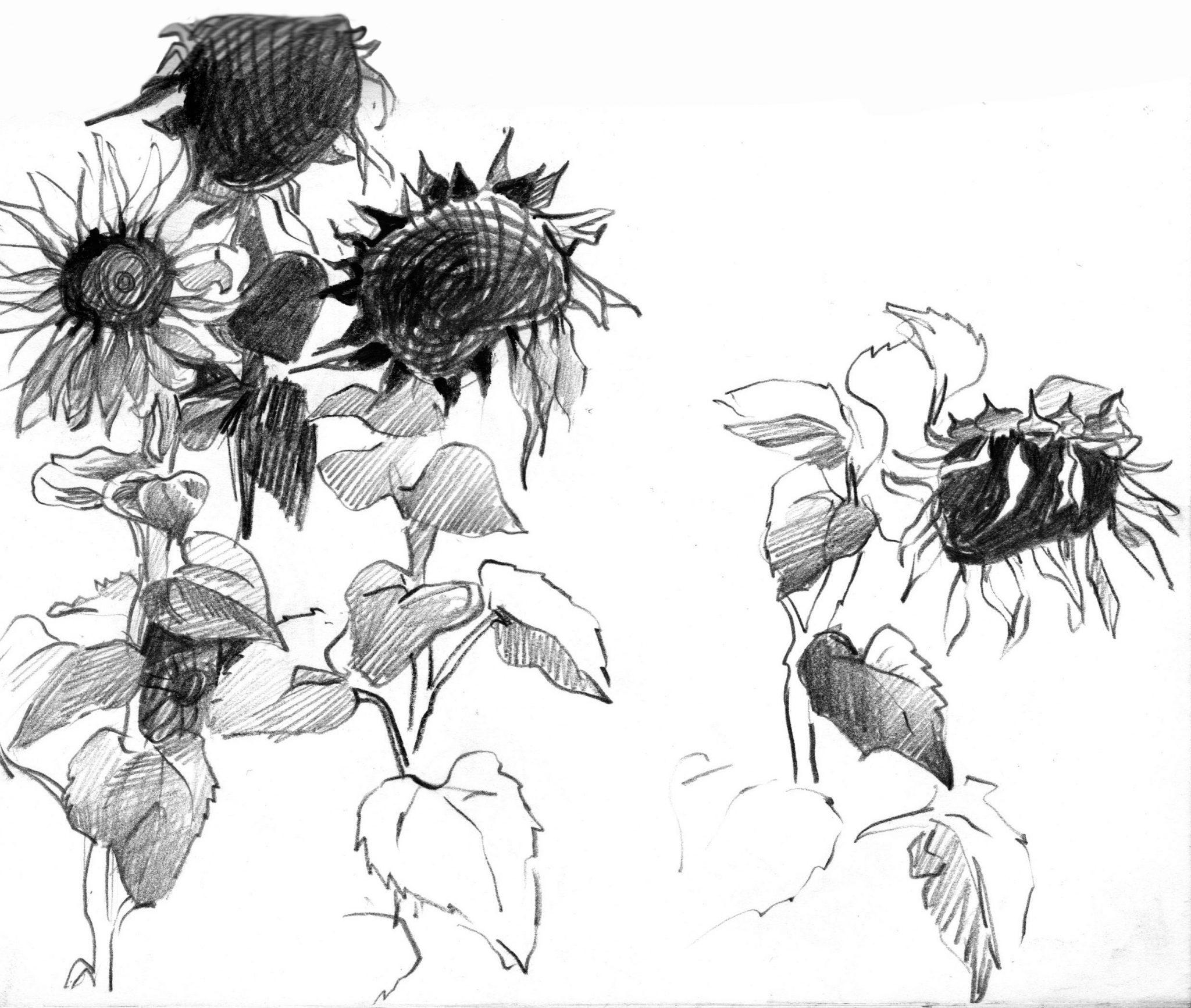 girasoles-alejandra-caballero-dibujo-lápiz-grafito